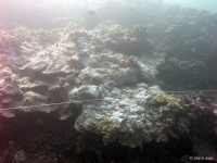 Partially bleached mounding coral (Porites lobata)