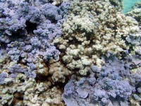 bleached rice coral (Montipora capitata) **note that the rice coral sits between two blue rice coral (Montipora flabellata)