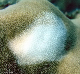 Close up of bleached coral polyps on brown lobe coral surrounded by healthy tissue