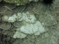 Bleached areas on plate coral (Porites monticulosa) at 70 ft deep at Honaunau.  Bleaching can also be caused by pollution and other stresses in addition to increased temperatures.