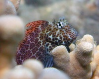 "Spotted Coral Blenny (Exallis brevis) They leave small ""blenny kisses"" all over their favorites corals."