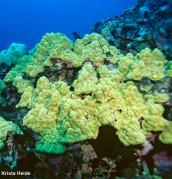 Mounding coral (Porites lobata)