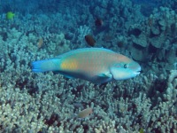 Parrotfish (Scarus spilurus) often graze on corals heads.