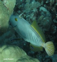 Barred filefish (Cantherhines dumerilii)  have protruding teeth with which they graze on corals.