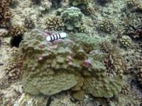 Porites swollen discolored patches (Porites evermanni)