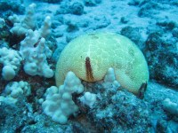 Cushion seastars are also corallivores (Culcita novaeguineae).