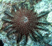 Crown-of-Thorns Seastar (Acanthaster planci)