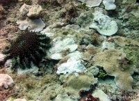 COts outbreak on rice corals northern Oahu.