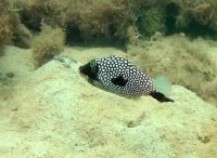 Spotted toby (Canthigaster jactator) with black skin disease.