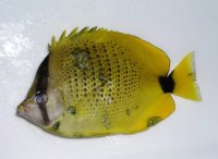Milletseed butterflyfish (Chaetodon miliaris) with multiple skin lesions (cancer).
