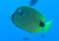 Milletseed butterflyfish with cancerous skin tumor.