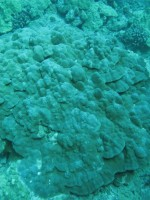 Growth Anomalies on mounding coral (Porites evermanni).