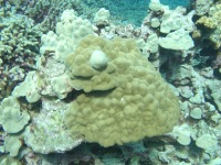 Growth Anomaly on mounding coral (Porites evermanni).