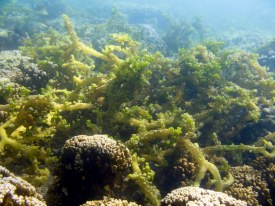 Smothering Seaweed (Eucheuma sp.) has coarse, branches with spines.