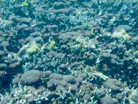 A native cyanobacteria forms reddish soft cushions attached to finger coral tips.