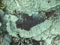 Leptolyngbya crosbyana smothering plates corals at 60 ft at Honaunau.