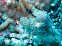Octocorals have been exhibiting blooming tendencies by overgrowing and smothering corals. (in this picture: Sarcothelia edmondsoni)