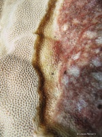 Close up of Porites tissue loss syndrome.