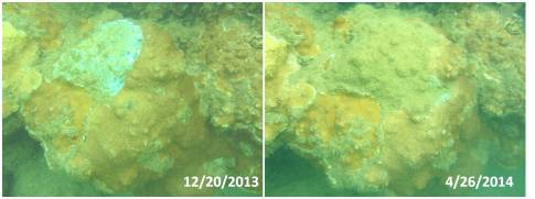 two images of an adopted coral colony at Ahukini