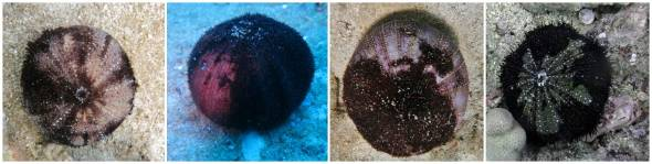 Examples of sick urchins, photo credit: DAR