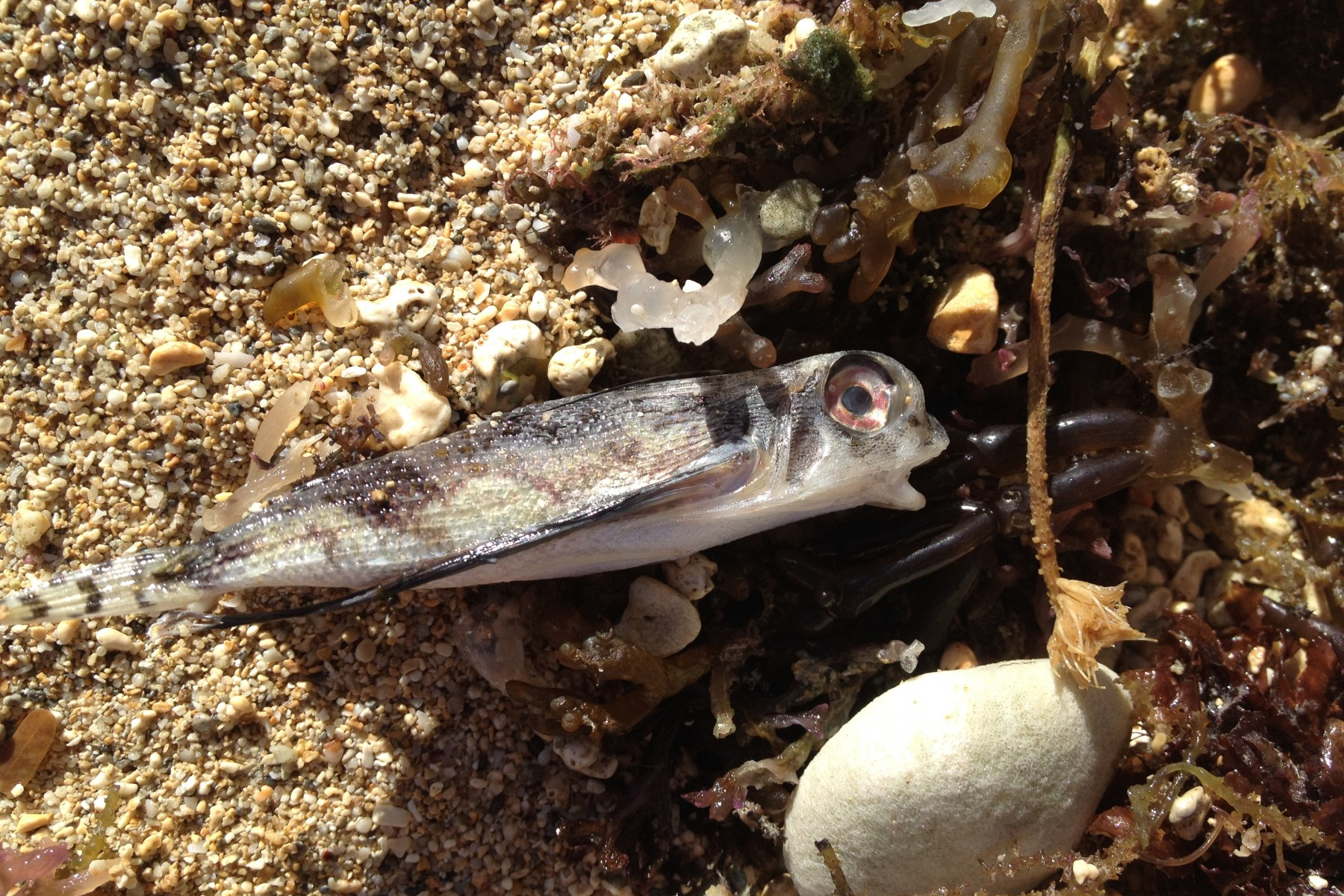dead flying gurnard washed up on beach in Waikiki, Oahu