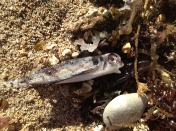dead flying gurnard washed up on beach in Waikiki, Oahu