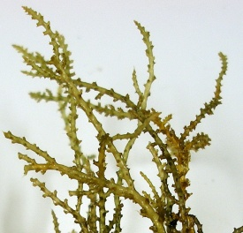 Prickly Seaweed. Note pointed tips and spines