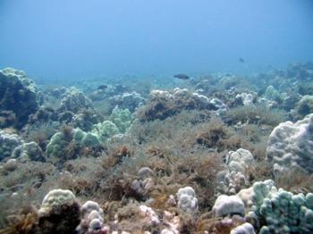 Prickly Seaweed overgrowing corals on Oahu
