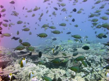 Healthy coral reef in the northwestern Hawaiian Islands